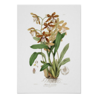 Miltonia candida poster