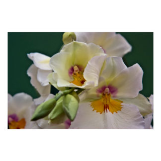 Miltonia Orchid • Poster