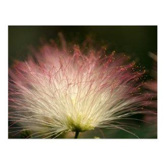 Mimosa de la fibra óptica tarjeta postal