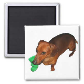 Minature Dachshund 2 Inch Square Magnet