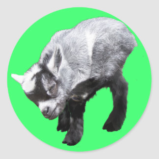 Minature Goat Scratching Sticker