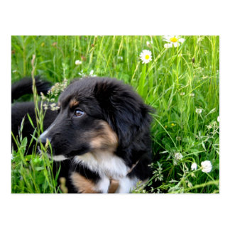 Mini Australian Shepherd postcard