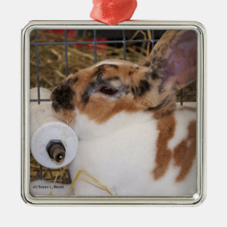 Mini cabeza del conejo del rex del tri color ornamento para reyes magos