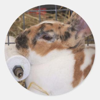 Mini cabeza del conejo del rex del tri color etiqueta redonda