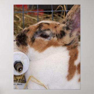 Mini cabeza del conejo del rex del tri color quebr posters