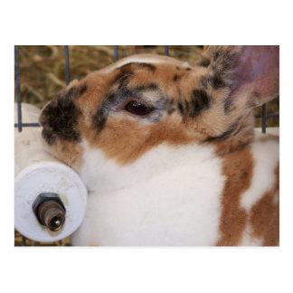 Mini cabeza del conejo del rex del tri color quebr postales