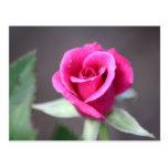 mini color de rosa rosado oscuro postal