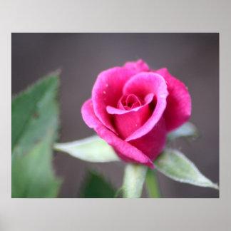 mini color de rosa rosado oscuro póster
