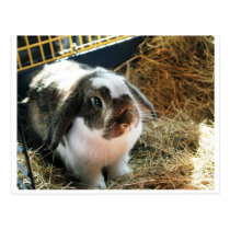 Mini Lop Pet Rabbit Postcard
