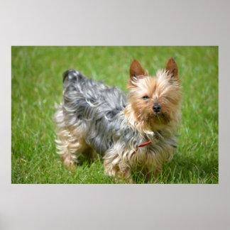 mini perro del yorkie en la hierba póster
