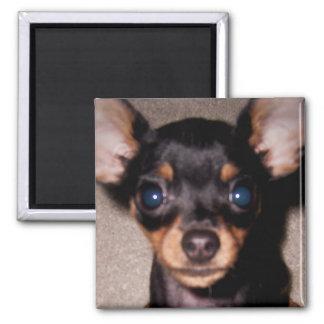 mini pinscher. 2 inch square magnet