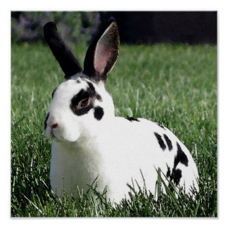 Mini Rex bunny poster