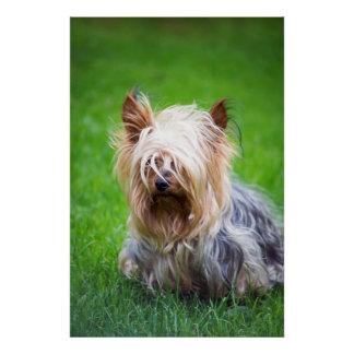 mini yorkshire terrier pup playing poster