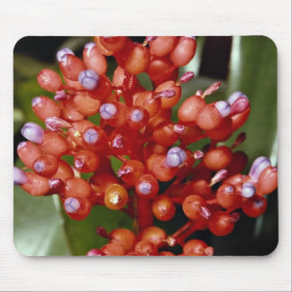 Miniata de Aechmea, bromeliaceae Tapete De Ratones