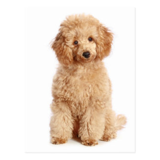 Miniature Apricot Poodle Puppy Dog Blank Postcard