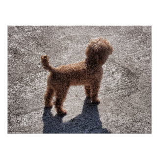Miniature Apricot Poodle Waits for its Master Poster