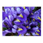 Miniature Blue Irises Postcard