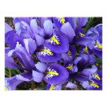 Miniature Blue Irises Spring Floral Photo Print