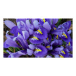 Miniature Blue Irises Spring Floral Poster