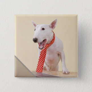 Miniature Bull Terrier looking at laptop, Button