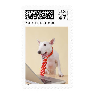 Miniature Bull Terrier looking at laptop, Postage