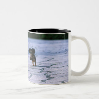 Miniature Dachshund 3 Two-Tone Coffee Mug