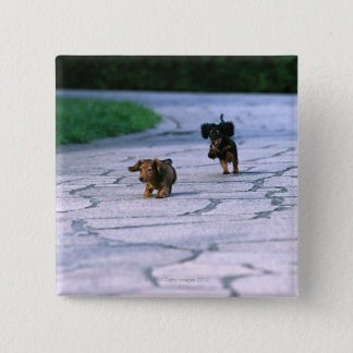 Miniature Dachshund 3 Pinback Button