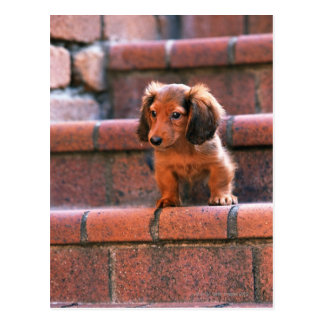 Miniature Dachshund Postcard