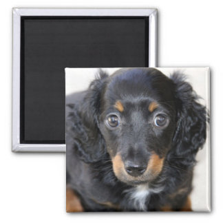 Miniature Dachshund Puppy 2 Inch Square Magnet