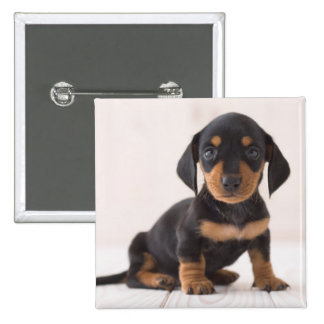 Miniature Dachshund Sitting Button