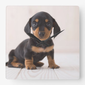 Miniature Dachshund Sitting Square Wall Clock