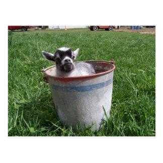 Miniature Goat in a Bucket Postcard