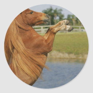 Miniature Horse Rearing Classic Round Sticker