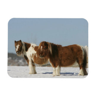Miniature Horses Standing in the Snow Magnet