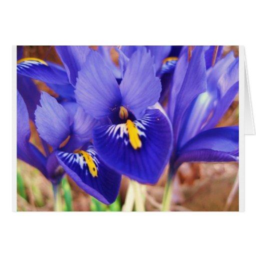 Miniature Irises Card