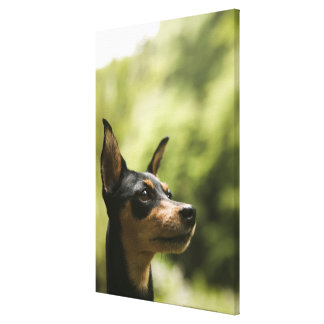 Miniature Pinscher (Min-Pin) 2 Canvas Print