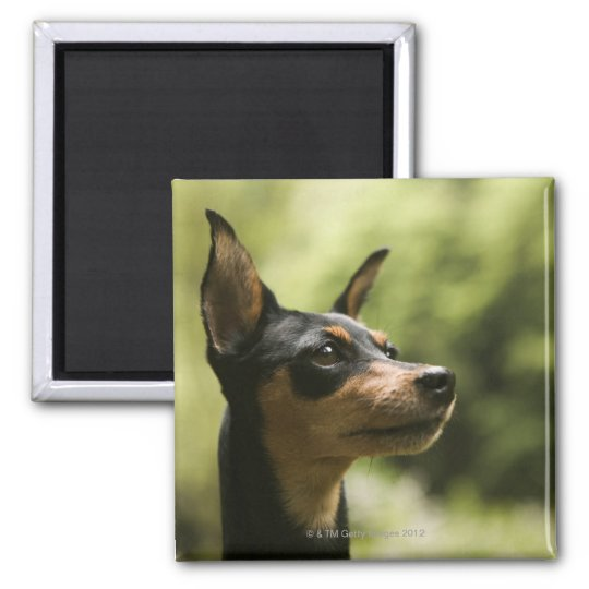 Miniature Pinscher (Min-Pin) 2 Magnet