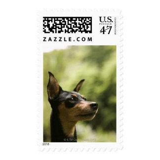 Miniature Pinscher (Min-Pin) 2 Postage Stamp