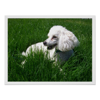 Miniature Poodle in Grass Poster