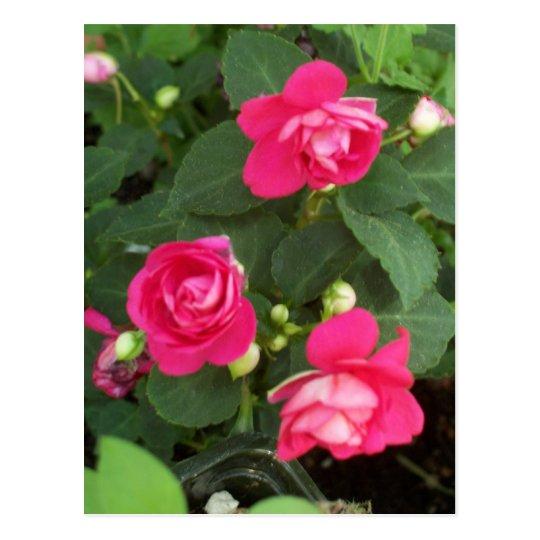 Miniature Roses Postcard