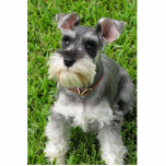 """Miniature Schnauzer 3-D figurine Cutout<br><div class=""""desc"""">This adorable mini schnauzer is made to look 'life like' by being 3-D. Functions as a decoration primarily. Also available in an ornament,  pin,  and magnet. Surprise someone with a gift of cute!</div>"""