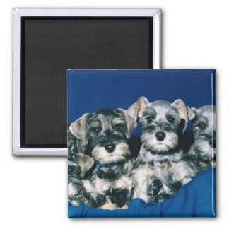 Miniature Schnauzer Puppies 2 Inch Square Magnet