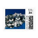 Miniature Schnauzer Puppies Postage Stamp