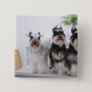Miniature Schnauzers standing at edge of table Button