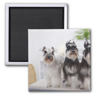 Miniature Schnauzers standing at edge of table Magnet