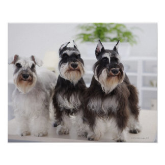Miniature Schnauzers standing at edge of table Poster
