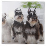 Miniature Schnauzers standing at edge of table Large Square Tile