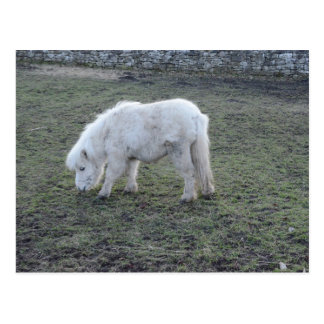 Miniature White Horse Gifts Postcard