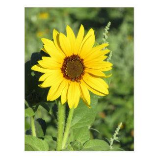 Miniature Wild Sunflower Bloom Postcard