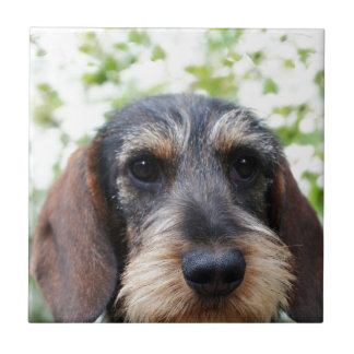 Miniature Wire Haired Dachshund Small Square Tile